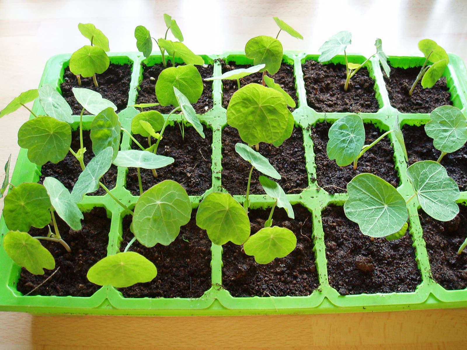 Как вырастить настурцию: выращивание из семян, когда 64