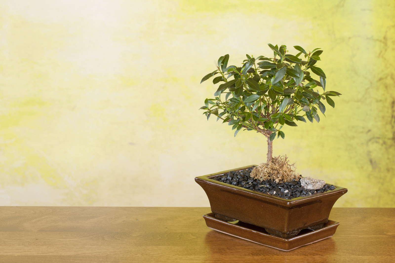 Бонсай (МИНИ ДЕРЕВО посадка и уход, выращивание, размножение) 65