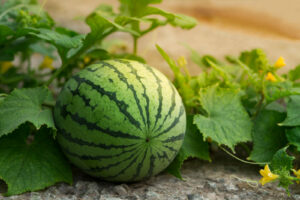 Wassermelone Im Garten Mit Blüten