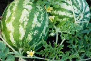 Wassermelone In Beet Mit Blüten