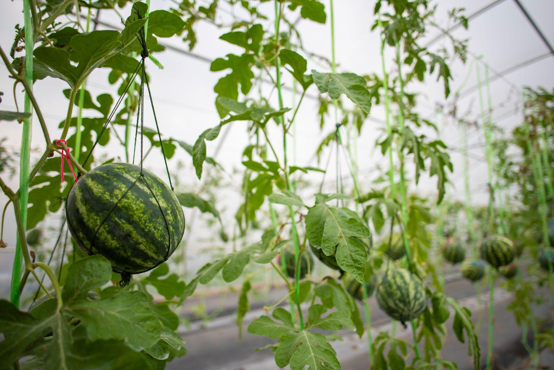 Wassermelonen im Gewächshaus