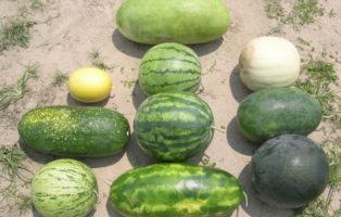 Unterschiedliche Wassermelonen