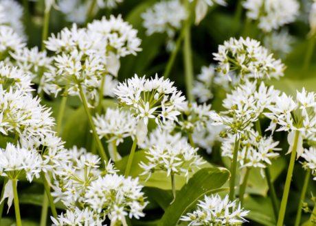 Bärlauch Pflanzen