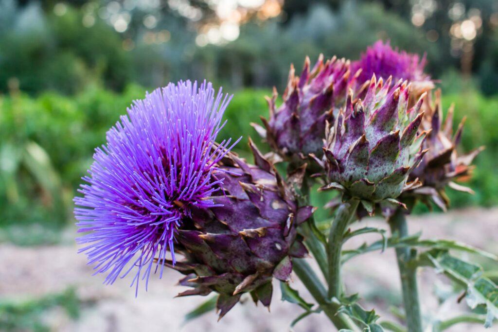 Blühende Kardone im Garten