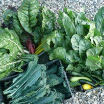 Frisches Gemüse Garten Mangold Palmkohlernte
