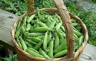 Zuckererbsen Ernte Korb Garten