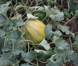 Gelbe Sorte MElone Im Garten