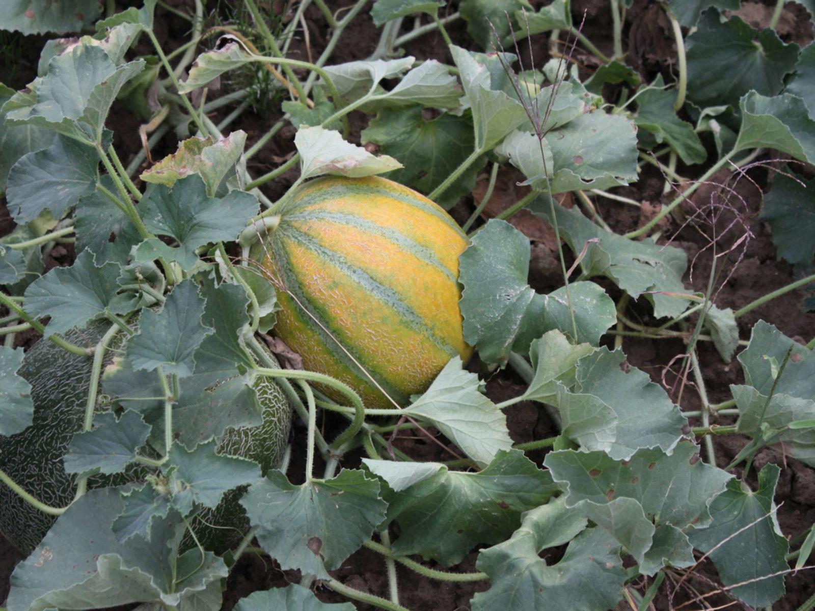 melonen arten und sorten geeignet f r den anbau in deutschland plantura. Black Bedroom Furniture Sets. Home Design Ideas
