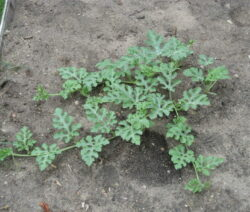 Junge Wassermelonenpflanze