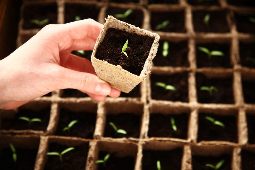 Keimling in Ausflanzgefäß werden von Hand gehalten