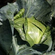 Weißkohl Im Garten Anbauen Ernten