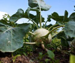 Kohlrabi Im Garten Anbauen Ernte