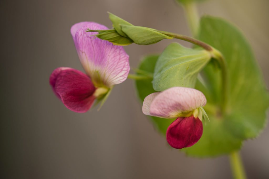 Markerbsen Blüte Garten