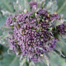 Brokkoli Purpur Lila Im Eignen Garten Anbauen