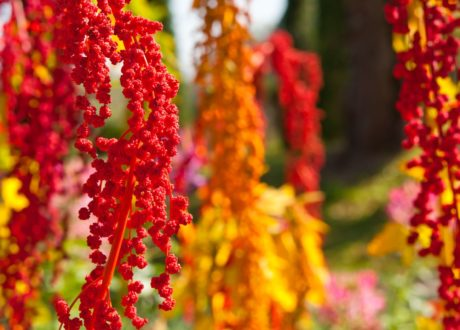 Quinoa In Rot Und Gelb An Baum