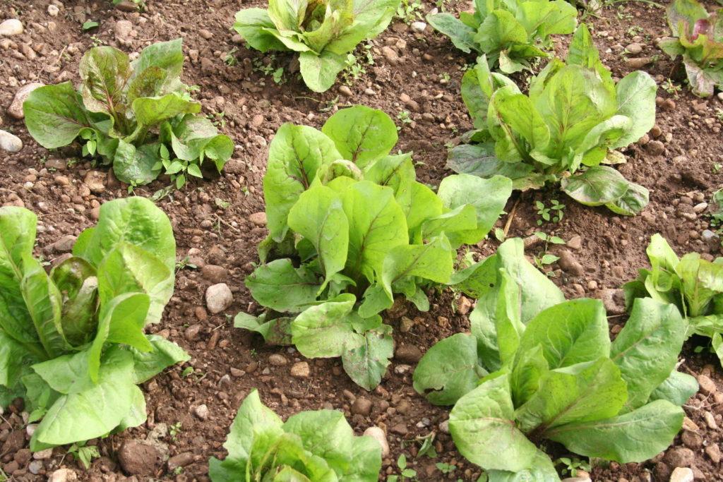 Junge Radicchiopflanzen im Beet