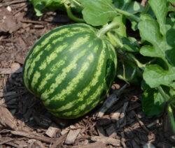 Reifende Melone