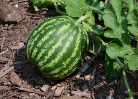 Reifende Melone Wassermelone Im Garten