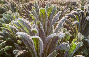 Schwarzkohl Im Garten Anbauen Frost