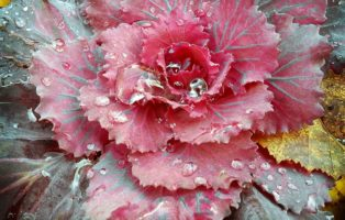 Zierkohl Im Garten Rot