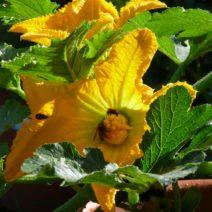 Zucchiniblüte An Pflanze