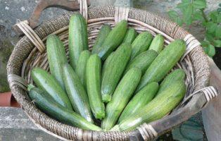 Zucchini Ertragreiche Sorten