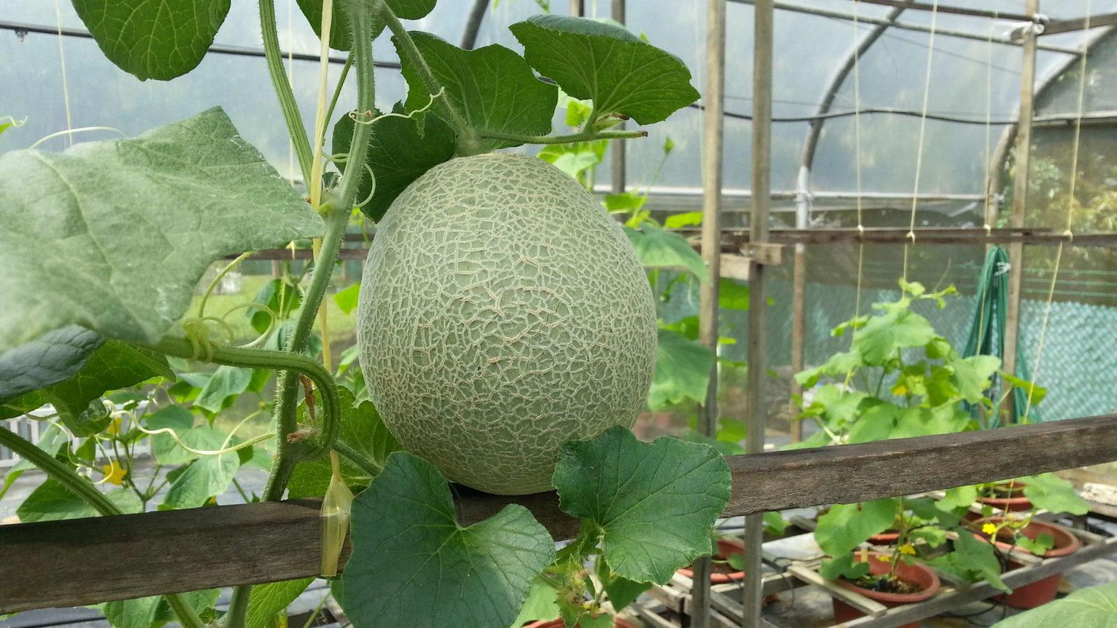melonen pflanzen zuckermelonen honigmelonen und co. Black Bedroom Furniture Sets. Home Design Ideas
