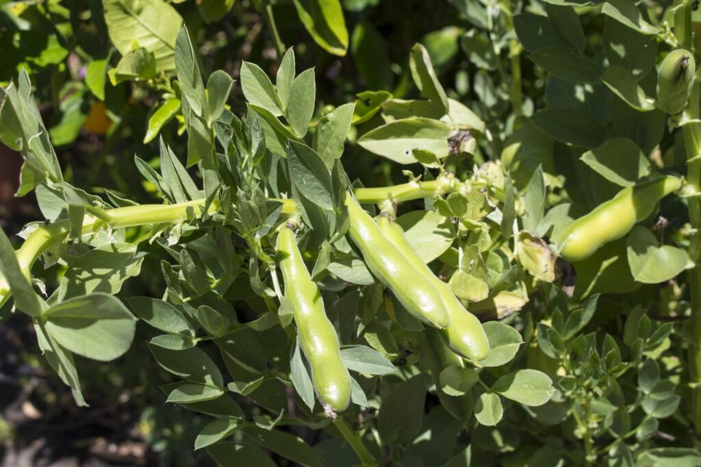 Ackerbohne angebaut
