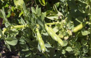 Ackerbohne: Alles Zum Anbau Im Eigenen Garten