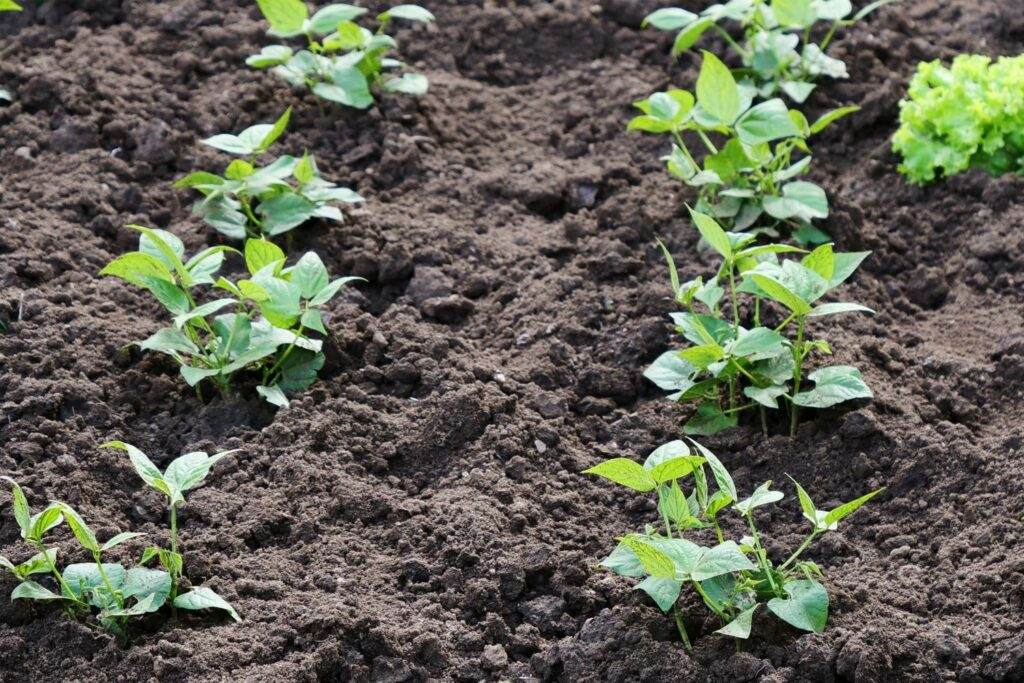 junge Bohnenpflanzen