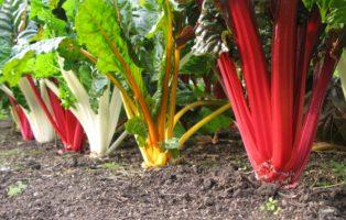 Farbenpracht Mangold Zierde Garten
