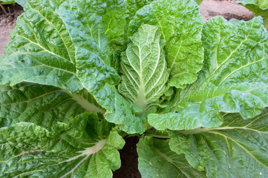Chinakohl: leckeres Wok-Gemüse aus dem eigenen Garten