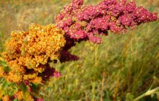Quinoa Superfoods Anden Anbau Feld Bio-Anbau