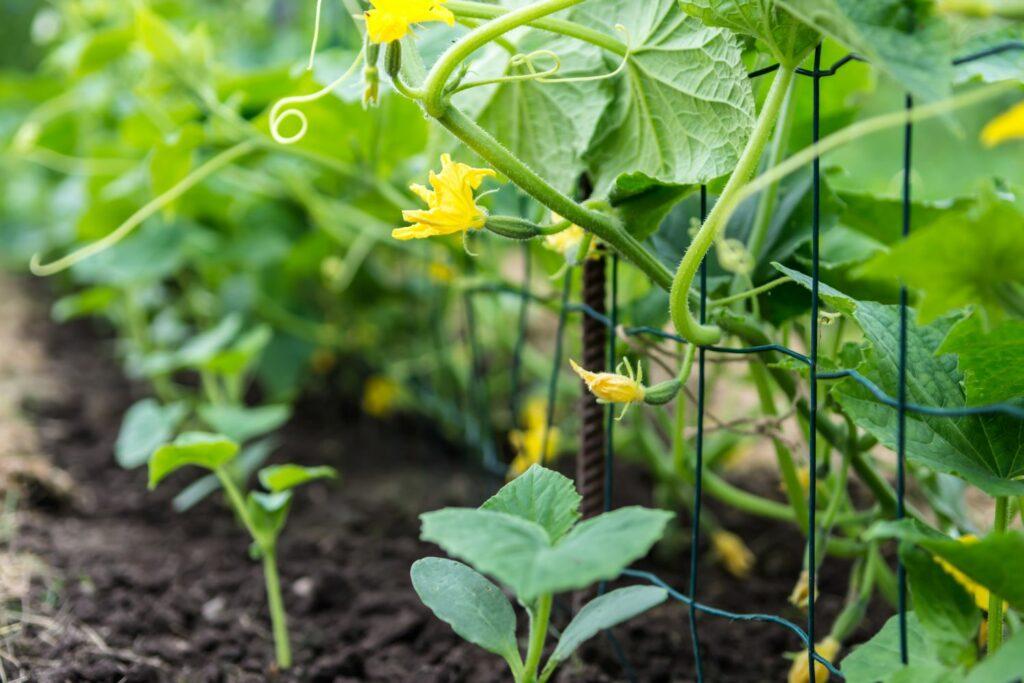Gurkenpflanze an Rankhilfe