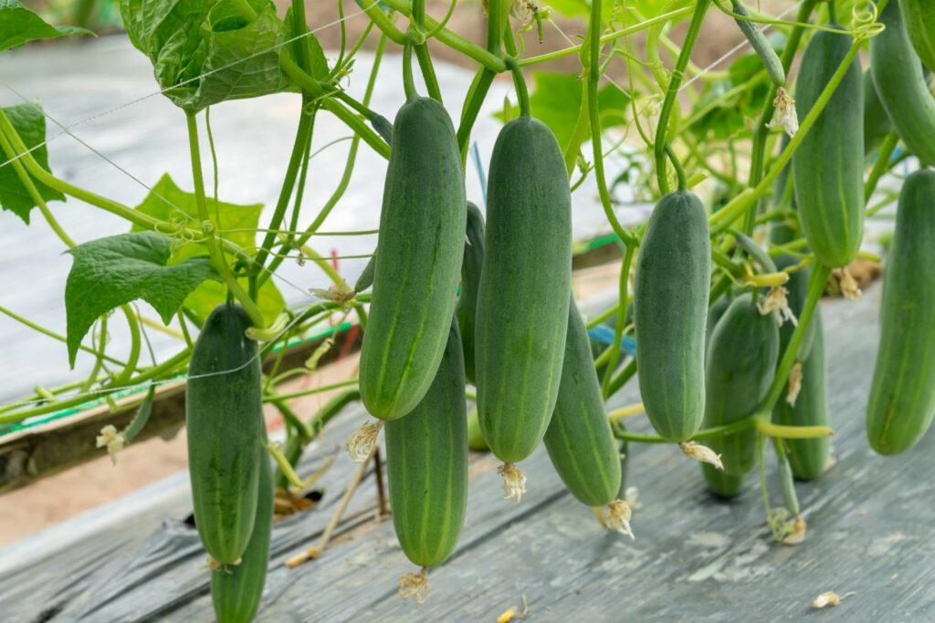 rankende Gurkenpflanze