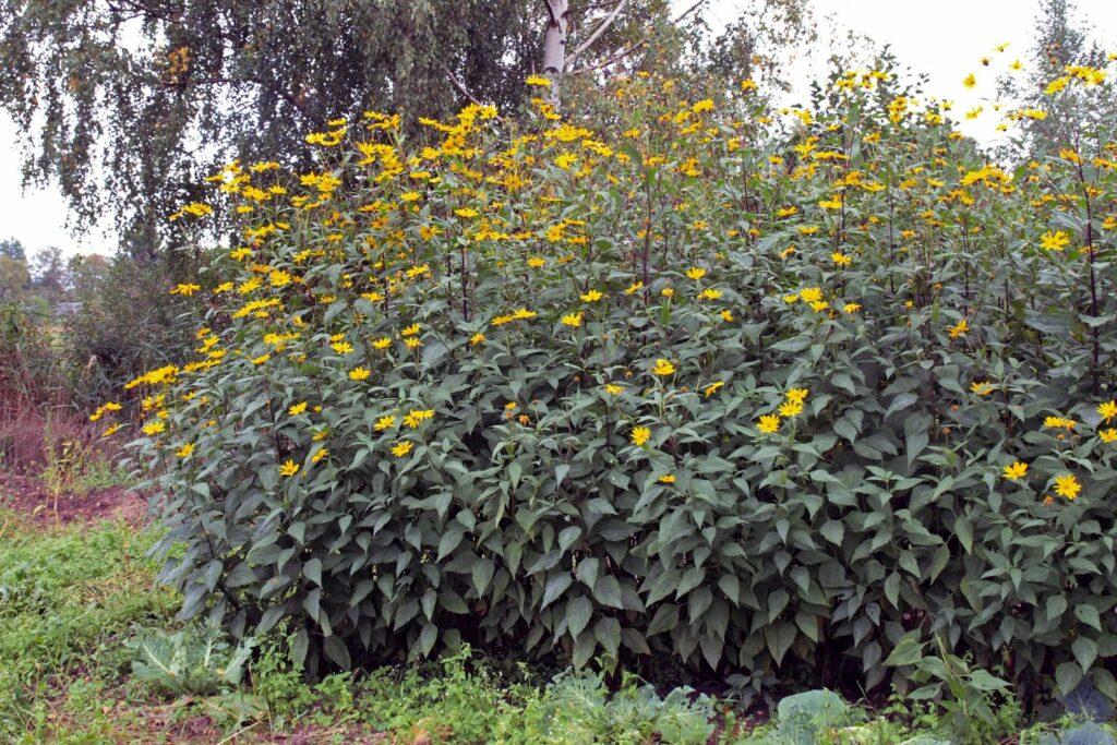 Hoher Topinambur-Strauch mit Blüten