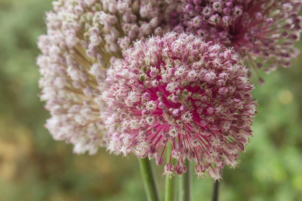 Blüten des Lauchs