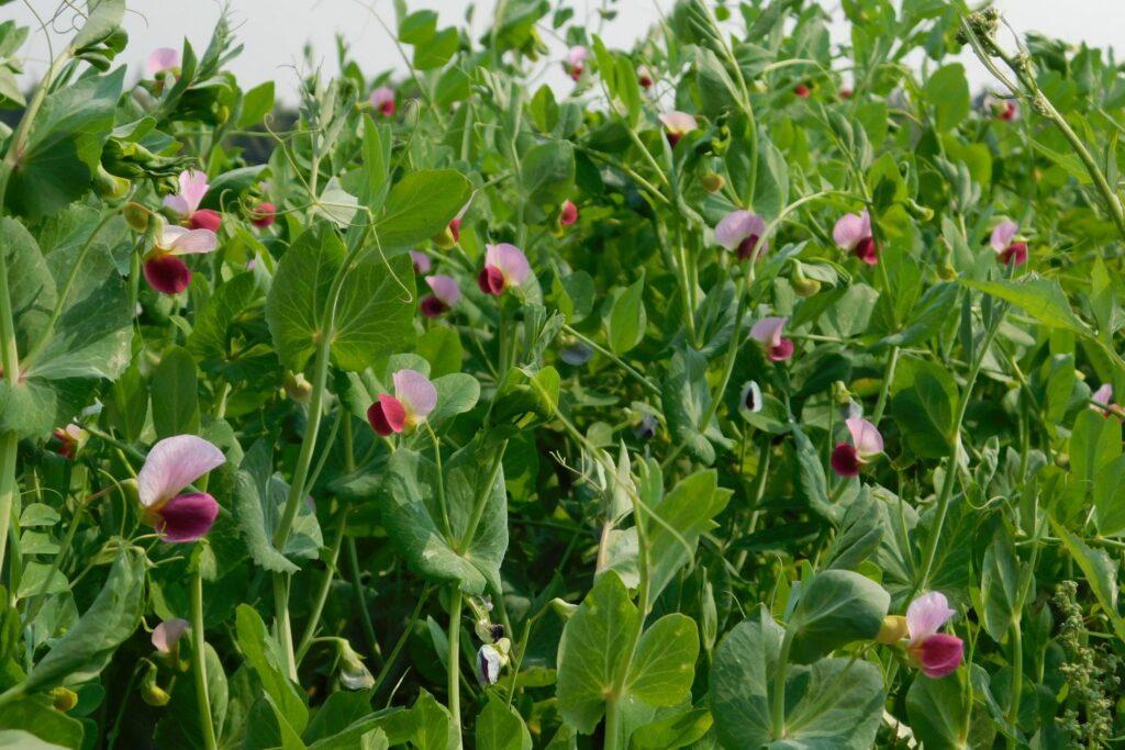 Blüten der Markerbse