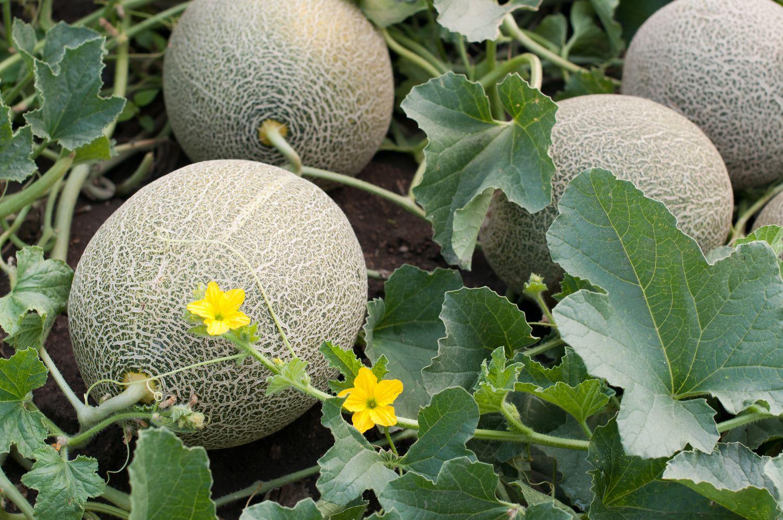 Anbau von Melonen