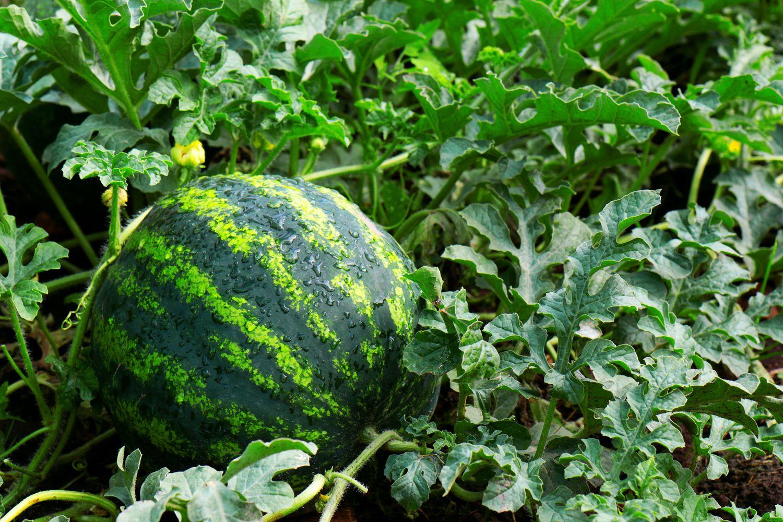 Wasserversorgung von Melonen
