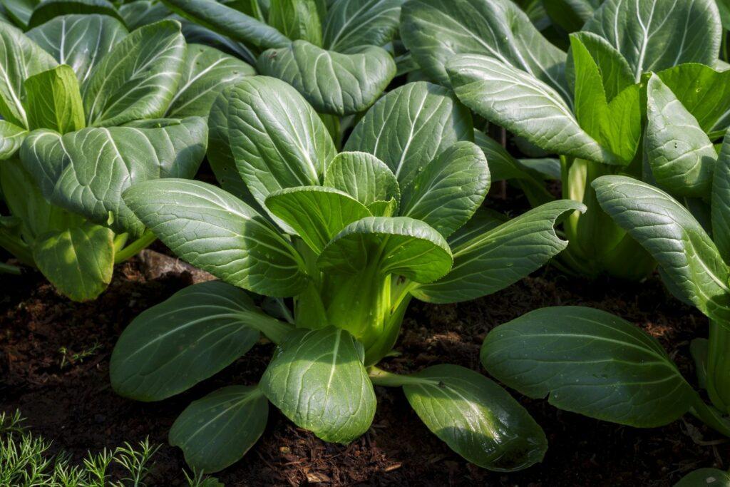 Pak Choi: Das leckere Wok-Gemüse im Garten ernten