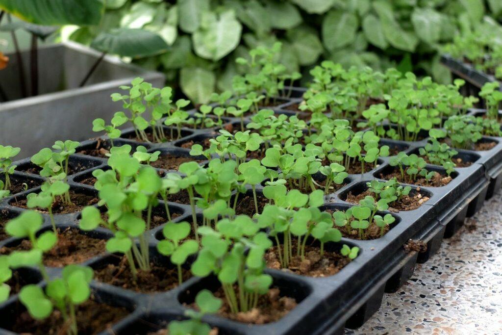 Pak-Choi-Jungpflanzen
