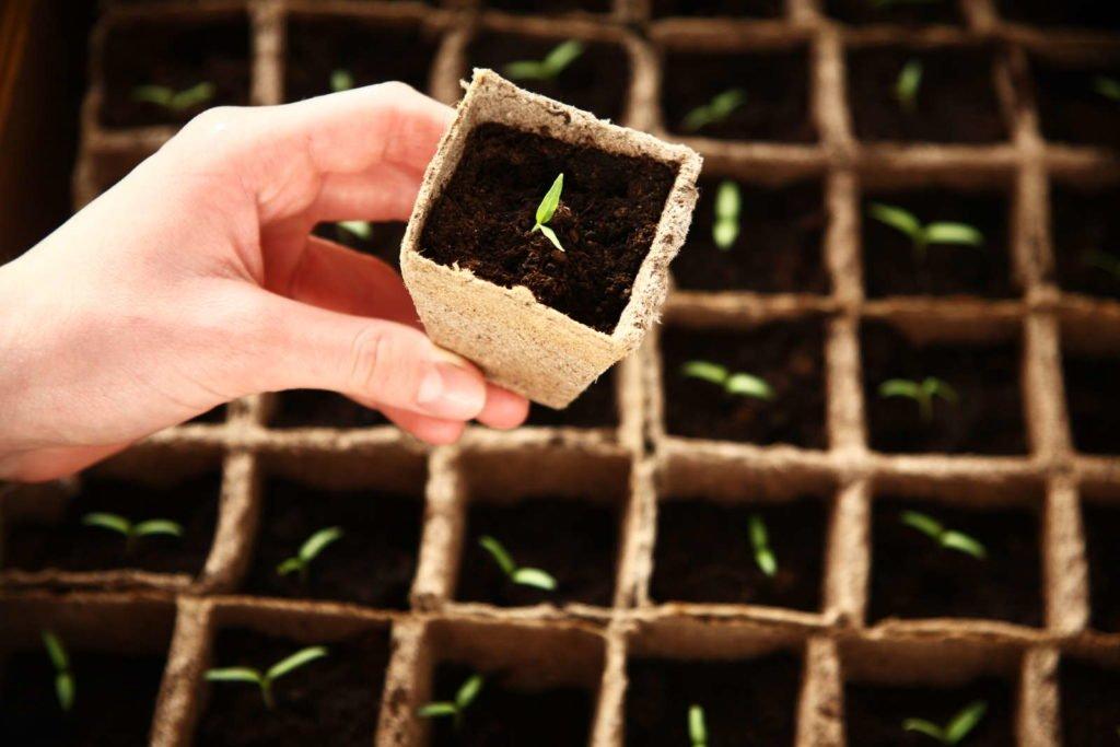 Radicchio-Keimlinge in Ausflanzgefäßen