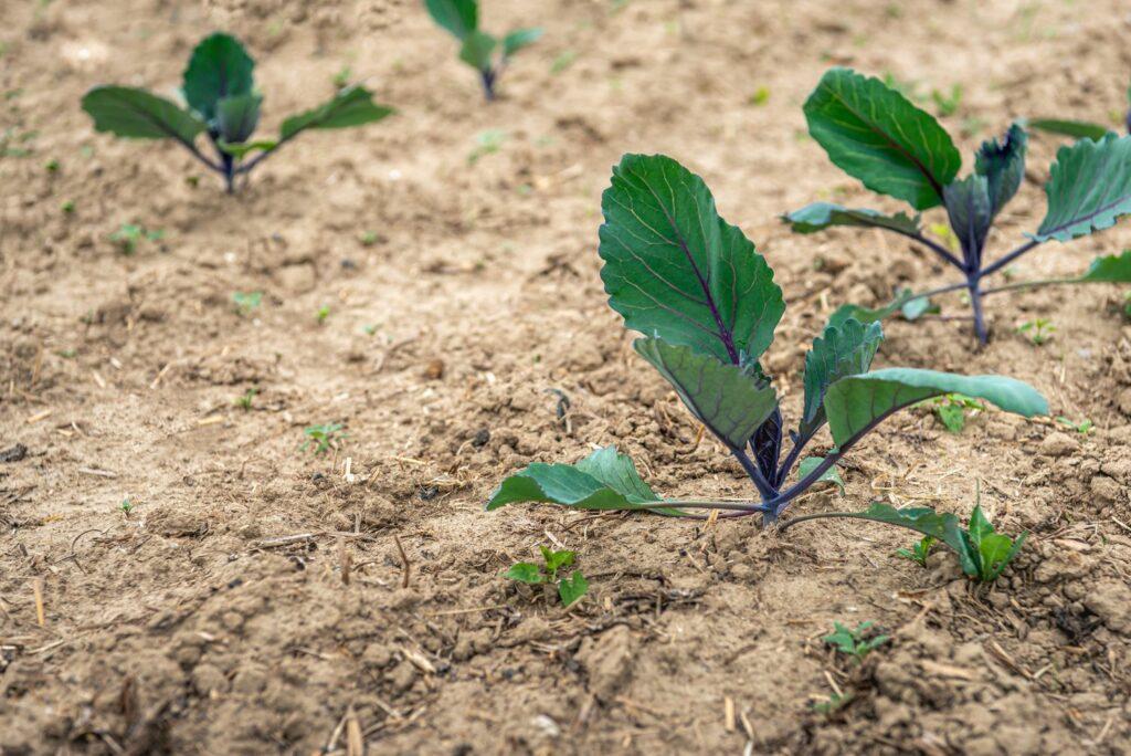 junge Rotkohl-Pflanzen im Beet