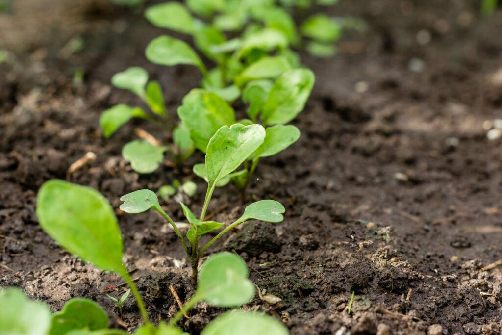junge Rucolapflanzen