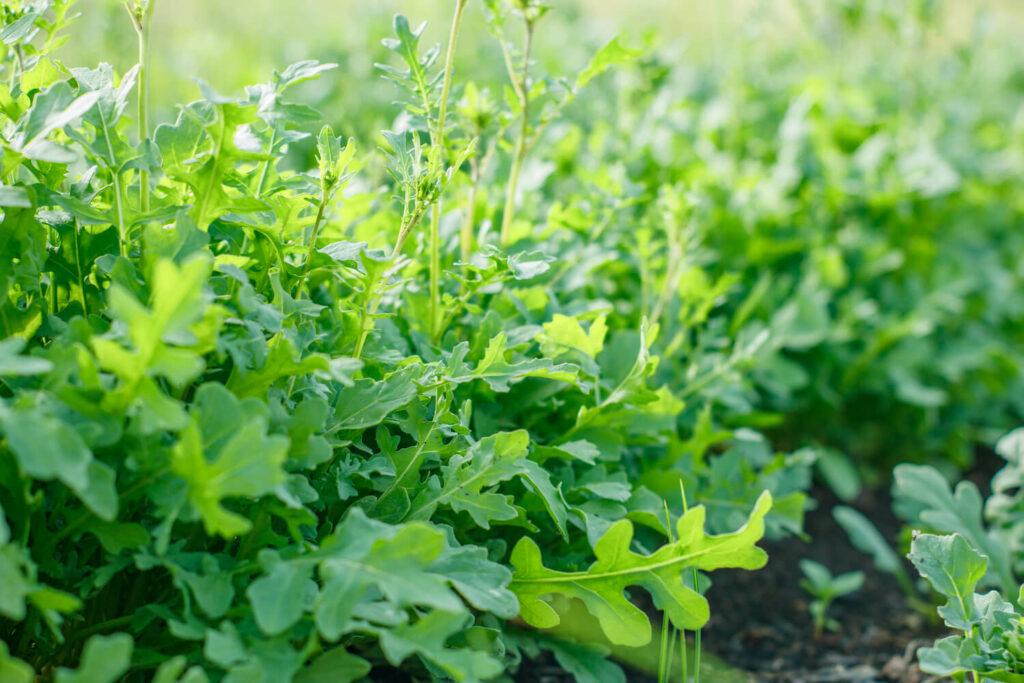 Rucola-Pflanze im Garten