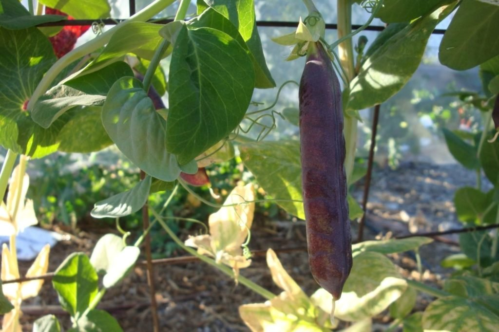 Schalerbse im Portrait: Anbau und Sorten