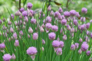 Blühender Schnittlauch Im Gartenbeet
