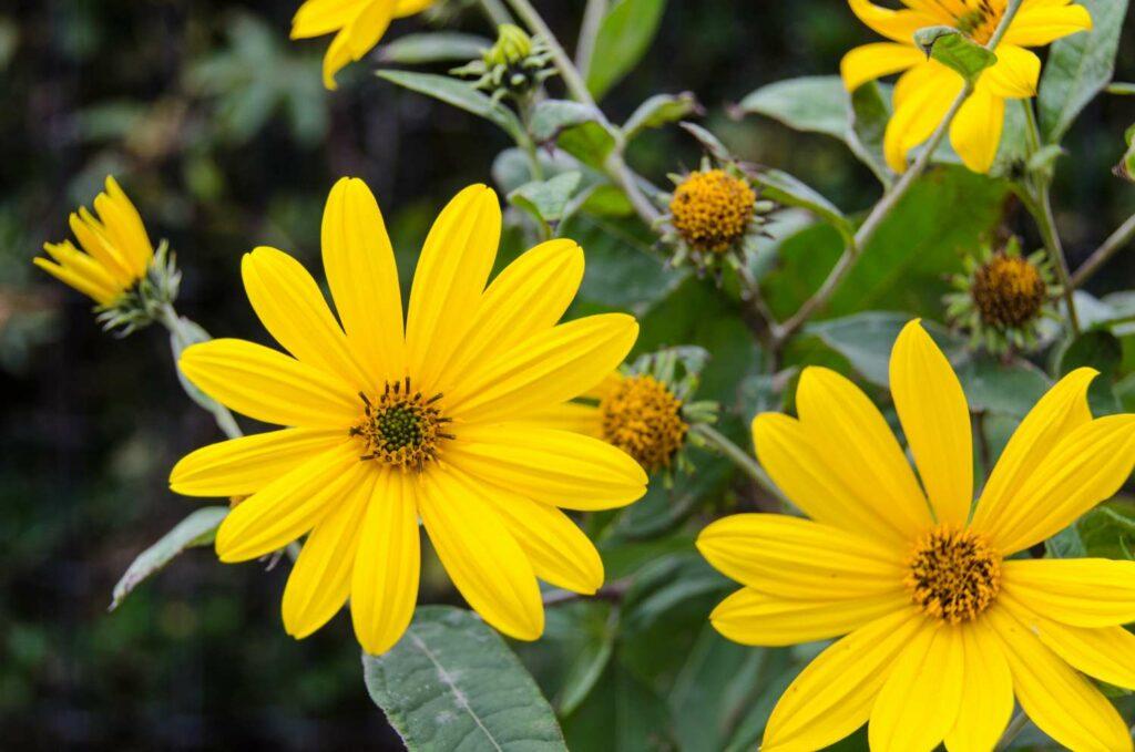 Blühender Topinambur