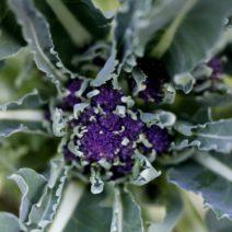 Brokkoli Violett Im Eignen Garten Anbauen